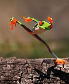 According to the dailyfeed, this red-eyed tree frog of Central America is doing a martial arts move.  But I think he's just saying, 'sup?!