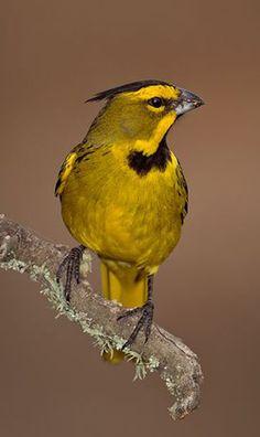Yellow cardinal (Gubernatrix cristata)