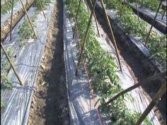 การปลูกมะเขือเทศตอน1(Planting tomatoes) - YouTube