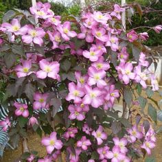 One of the brightest pink Clematis montanas, award-winning Clematis 'Freda' is a. Types Of Soil, Types Of Plants, Clematis Montana Rubens, Clematis Varieties, California Lilac, Climber Plants, Chicago Botanic Garden, Buy Plants, Pretty Roses
