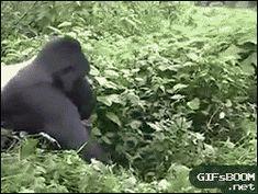 Gorila mandando seu recado http://wp.me/p6b85g-yX