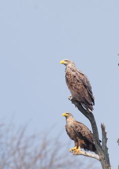 white tailed eagle family  by www.chettusia.com
