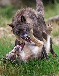 Submission: The lighter coloured wolf eventually gives in as it realises this is one fight it's not going to win
