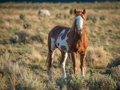 OPB · Wild Horses In Crisis  http://www.opb.org/mustangs/wild/index.html