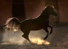 Arabian in the light