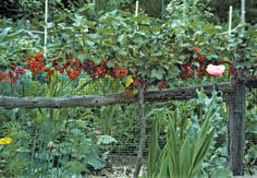 (This red currant espalier would be so pretty around an orchard or garden fence) pruning red currants - Google Search