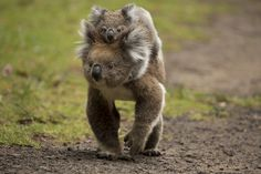 "baby koala ; ) ""gor"" by Irca Caplikas 2015-03 on 500px 101650983"