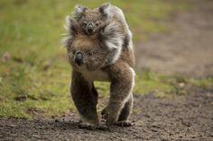 """baby koala ; ) """"gor"""" by  Irca Caplikas 2015-03 on 500px 101650983"""