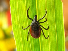 Off-the-Charts Anxiety: Is a Tick Bite Making You Nuts? My anxiety has been outrageous lately. Camping Survival, Survival Tips, Survival Skills, Panic Attack Treatment, Tick Bite, Science Daily, Off The Charts, Lyme Disease, Pandas