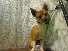 riends of Moreno Valley Shelter Animals with Phil Yturbe and 4 others at City of Moreno Valley Animal Control Services ID#A436147 (Moreno Valley, CA) male, tan and white Chihuahua - Smooth Coated. The shelter thinks I am about 7 months old I have been at the shelter since Jun 04, 2014 and I may be available for adoption on Jun 11, 2014 at 11:52AM