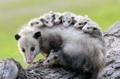 opossum mum with babies
