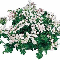 Tornado White ivy Geranium - Annual Flower Seeds