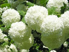 Sometimes called snowball viburnum, the price of these flowers skyrockets after April, so coordinate your wedding date and floral budget carefully. Description from flowers.about.com. I searched for this on bing.com/images