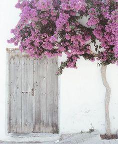 A lovely bougainvillea tree in Crete.