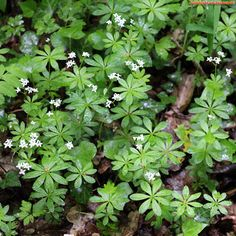 Aspérule odorante (galium odoratum), comestible. Une consommation excessive peut être source de troubles digestifs ou de maux de tête.