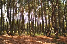 The Amazing Dancing Forest in Russia   no one quite knows why they grow this way.