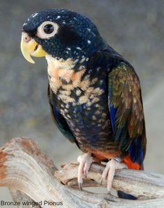 Bronze Winged Pionus Parrot