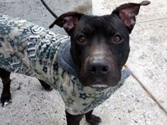 TO BE DESTROYED SAT 1/4/14 Manhattan Center    BUCHINO - A0988508    MALE, BLACK / WHITE, PIT BULL, 6 yrs  OWNER SUR - EVALUATE, NO HOLD Reason MOVE2PRIVA   Intake condition NONE Intake Date 12/30/2013, From NY 10025, DueOut Date 12/30/2013 Original thread: https://www.facebook.com/photo.php?fbid=734290579917157&set=a.617938651552351.1073741868.152876678058553&type=3&permPage=1