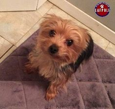"""Lost & Found Pets of Long Island - Community Page Liked · January 27 · Edited ·    2-4-15 Still Missing   LEVITTOWN, NY FIDO ALERT! LOST! """"Yogi"""" 3-4yo., fixed male Teacup Yorkie  No chip Went missing 1-24-15 from Crescent Lane and Cobble  Contact: Heather at (516) 903-3091 Anthony or Chris at 516-967-3843"""