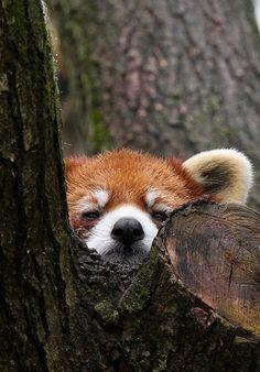 Peek-a-boo Panda by Mark Dumont