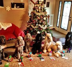 Christmas poodle walking club party, this guy who walks poodles posts the best pics ever, follow him on instagram davidfeschuk