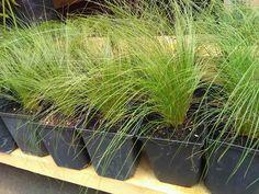Árvalányhaj Herbs, Deco, Herb, Medicinal Plants