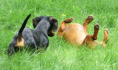 Dachshund Play time