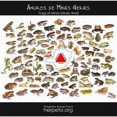 Frogs of Minas Gerais, Brazil by Rodrigo Tinoco  #Repost @savethefrogsmg ・・・ Um pouco dos anuros já registrados por @rodrigo__tinoco  em Minas Gerais! Sigam @herpeto e acessem herpeto.org  e saiba mais sobre os diversos grupos da herpetofauna!  www.savethefrogs.com/minasgerais  #brazil #brasil #minasgerais #anfibios #amphibians #frogs #savethefrogs #posters #wildlife