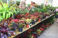 At a Cordyline Society plant fair at Brisbane Botanic Gardens, February I think there was a greater range of bromeliads for sale than Cordylines. Botanical Gardens, Plants, Planters, Plant, Planting