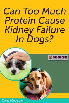 Some dog owners think that too much protein can cause kidney failure in dogs. So they restrict the amount of dog protein in their pet's diet for fear that it may affect their health. So is this something to worry about or is it just a myth? Find out more. Dog Nutrition, Dog Diet, Kidney Failure, Guide Dog, Medical Problems, Dog Care Tips, Homemade Dog Food, Dog Grooming, Dog Owners