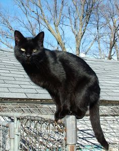The history of black cat's curse: Europeans believed that if a black cat crosses their path, it's an omen of misfortune and death