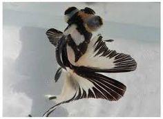 Black and white panda, butterfly telescope goldfish. Comet Goldfish, Oranda Goldfish, Goldfish Aquarium, Goldfish Pond, Pretty Fish, Beautiful Fish, Animals Beautiful, Colorful Fish, Tropical Fish