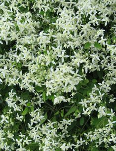 The tools below allow you to search by a plants common name or botanical name, a plants attributes or by plant category. Flower Colors, Colorful Flowers, White Flowers, Part Shade Flowers, North Facing Garden, Autumn Clematis, Zone 5, Low Maintenance Plants, New Growth