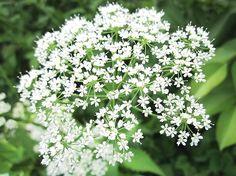 Goutweed flowers (podagrycznik pospolity) i jego działanie lecznicze
