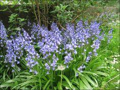 EN MARS : Hyacinthoides non-scripta Elle possède des fleurs odorantes en forme de clochettes, de couleur bleu azur. Elle mesure entre vingt et quarante centimètres et pousse dans l'ombre des sous-bois. Elle forme généralement des colonies qui se repèrent facilement de loin en tachetant le sol de plaques d'un bleu violet.