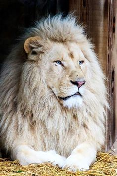 Beautiful lion if this is for real. Lion Images, Lion Pictures, Animal Pictures, Majestic Animals, Rare Animals, Animals And Pets, Wild Animals, Beautiful Lion, Animals Beautiful