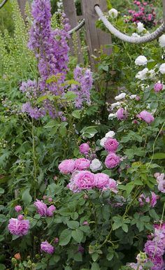 Сад роз   Louise Odier