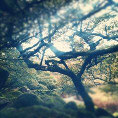 Wistmans Wood, Dartmoor