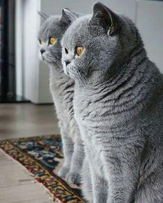 vind-ik-leuks, 7 reacties - BSH Cats Care ( op Ins. - Katzen - Five Cat British Shorthair Kittens, Exotic Shorthair, Blue Cats, Grey Cats, Cute Kittens, Cats And Kittens, British Blue Cat, Gato Animal, Gatos Cats