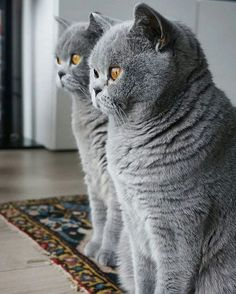 vind-ik-leuks, 7 reacties - BSH Cats Care ( op Ins. - Katzen - Five Cat Blue Cats, Grey Cats, Cute Kittens, Cats And Kittens, British Blue Cat, Gato Animal, British Shorthair Kittens, Exotic Shorthair, Gatos Cats