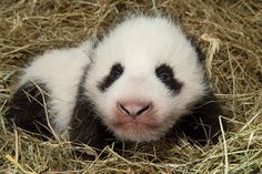 """Zoo Vienna's newest Panda cub, now two months old, is a healthy male. His eyes recently opened and he's becoming more active. Says Zoo Director Dagmar Schratter, """"The baby panda cannot crawl yet. He manages to push himself away from the floor only to fall over immediately and to tumble back into the soft bamboo nest."""" See more: http://www.zooborns.com/zooborns/2013/10/panda-zoo-vienna.html"""