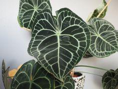 Anthurium clarinervium til alle hjerters dag Plant Leaves, Plants, Alternative