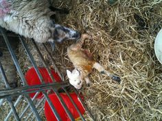 My first of many deliveries whilst lambing in Cornwall, 2012 :)