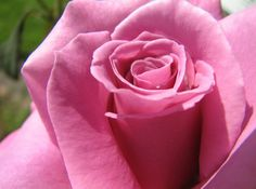 could this rose be perfect?