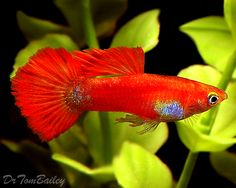 gorgeous guppies | Male Fancy Coral Red Guppy