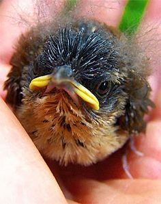 Baby American Robin(Turdus migratorius) Don't worry little guy, you will grow into that beak ;o)