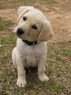 Mind Blowing Facts About Labrador Retrievers And Ideas. Amazing Facts About Labrador Retrievers And Ideas. Baby Dogs, Pet Dogs, Dogs And Puppies, Doggies, Too Cute Puppies, Baby Puppies, Puggle Puppies, Samoyed Dogs, Maltese Dogs