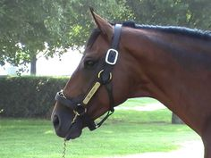 big brown horse | Big Brown Kentucky, Preakness Winner, Ky Derby, Sport Of Kings, Big Brown, Brown Horse, Racehorse, Horse Farms, Thoroughbred