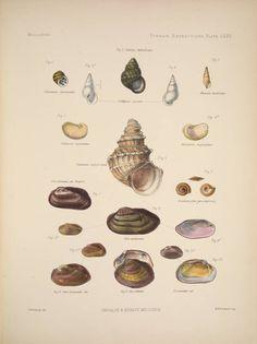 Univalve & Bivalve Mollusca