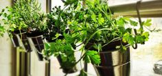 indoor herb planter for kitchen window: small buckets, hooks and a shower towel bar